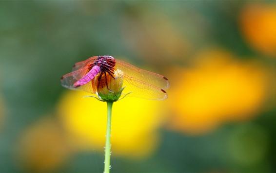 Papéis de Parede Libélula vermelha, flor, inseto