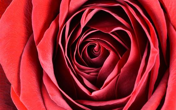 Papéis de Parede Fotografia macro rosa vermelha, pétalas, flor