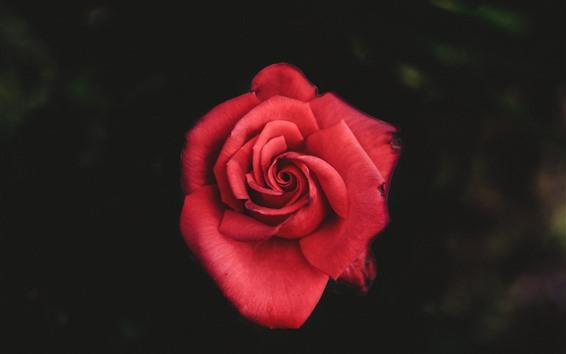 Fondos de pantalla Rosa roja, primer plano de pétalos, fondo brumoso