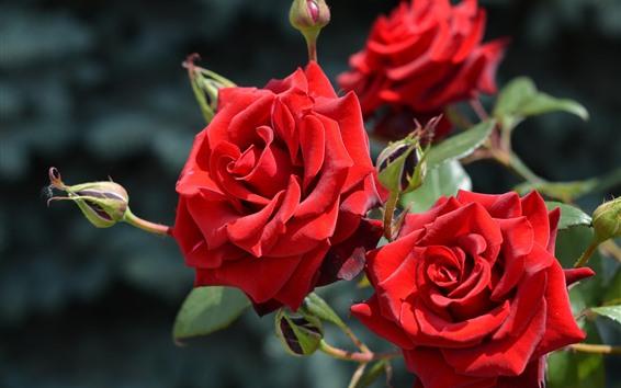 Fondos de pantalla Rosas rojas, flores de primer plano, pétalos.