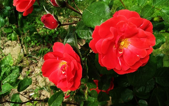 Fondos de pantalla Rosas rojas, flores, hojas verdes