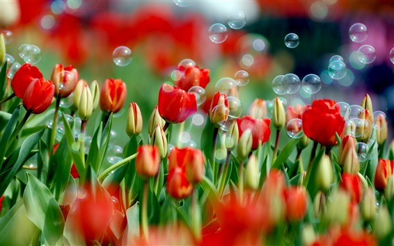 Wallpaper Red tulips and many bubbles