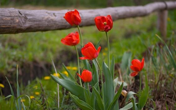 Fondos de pantalla Tulipanes rojos, hojas verdes, naturaleza.