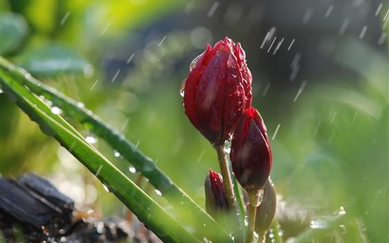 Обои Красные тюльпаны в дождь