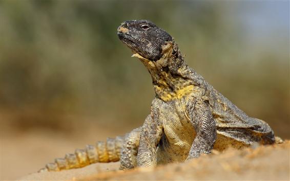 Fondos de pantalla Reptil, lagarto, vida silvestre