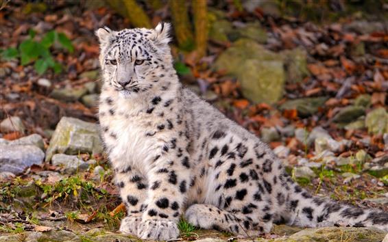 Fondos de pantalla Cachorro de leopardo de nieve sentarse en la tierra