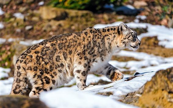 Fondos de pantalla Snow Leopard Walking