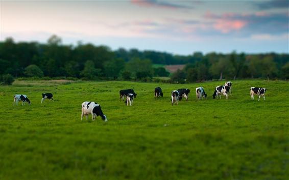 Papéis de Parede Algumas vacas, pastando, Prado