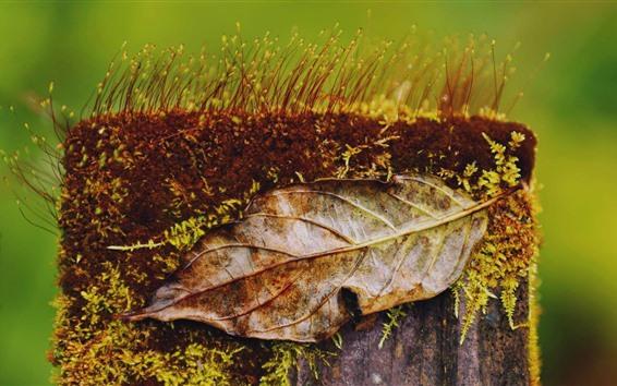 Papéis de Parede Coto, musgo, planta, folha seca