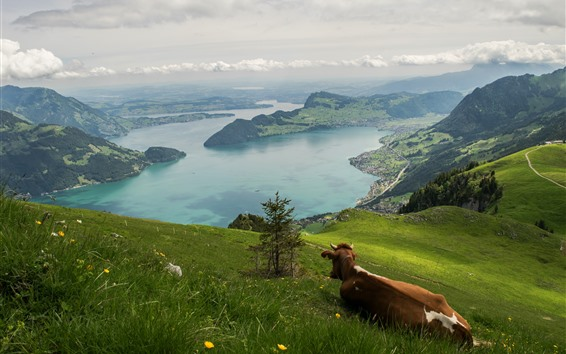 Wallpaper Switzerland, river, mountains, slope, cow
