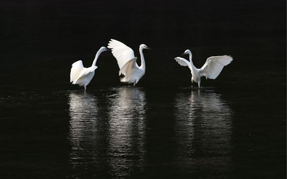 壁紙 3つの白鷺、池