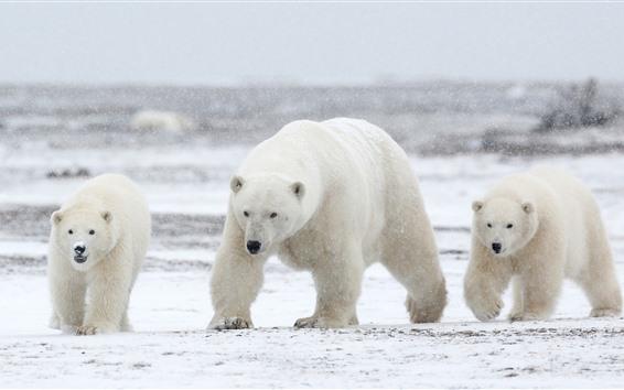 Papéis de Parede Três ursos polares, neve
