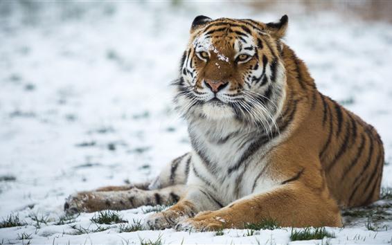 Papéis de Parede Tigre, animais selvagens, neve, inverno