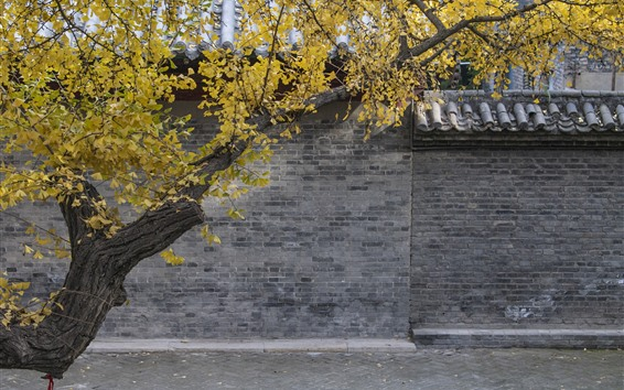 Fondos de pantalla Árbol, hojas amarillas, pared