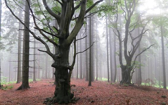 Papéis de Parede Árvores, floresta, nevoeiro, amanhecer