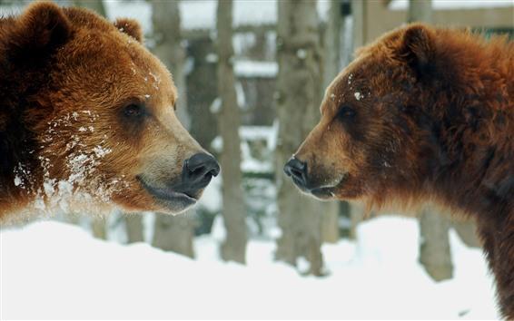 Papéis de Parede Dois, marrom, ursos, cara enfrentar