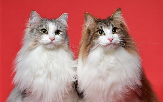 Обои Два пушистых кошки, красный фон