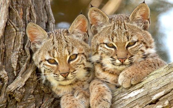 Обои Две дикие кошки, рысь, вместе