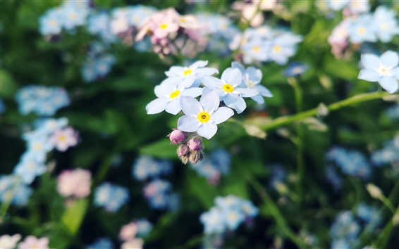 Wallpaper White forget-me-not