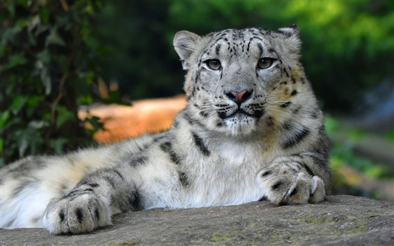 Wallpaper White tiger, rest, face, paws