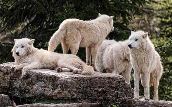 Papéis de Parede Família lobo branco