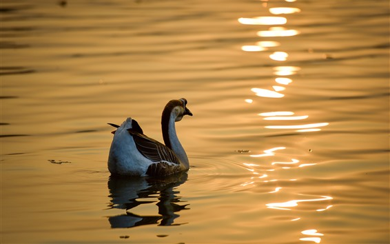 Papéis de Parede Ganso selvagem, lagoa, brilho