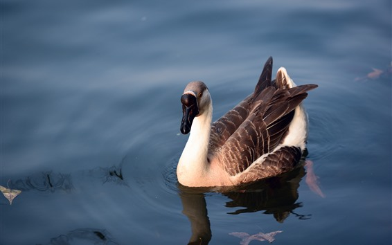 壁紙 雁, 水, 池