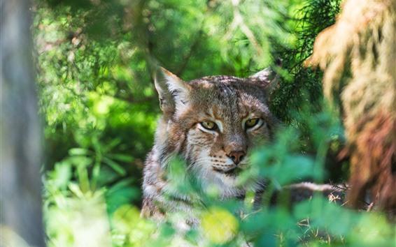 Fondos de pantalla Wildcat, bosque, fondo verde