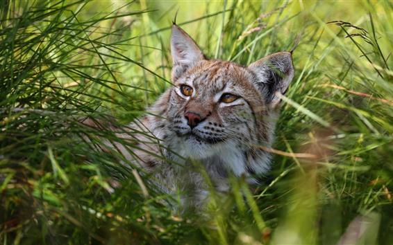 Fondos de pantalla Wildcat, Lince, hierba, resto