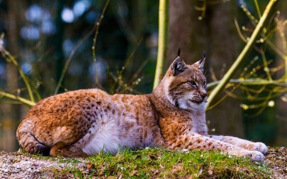 Papéis de Parede Wildcat, lince, descanso