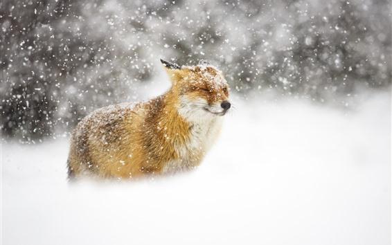 Papéis de Parede Animais selvagens, raposa, nevado, inverno