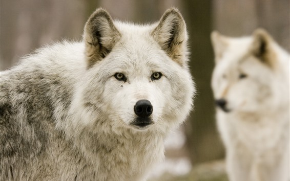 Wallpaper Wolves, forest, front view, face