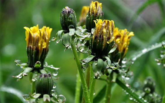 Fondos de pantalla Dientes de león amarillos flores, gotas de agua