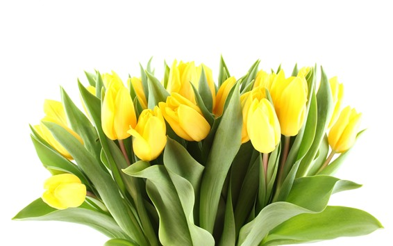 Fondos de pantalla Tulipanes amarillos, bouquet, fondo blanco.