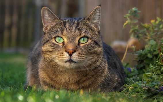 Wallpaper Cat rest, front view, face, green eyes, grass