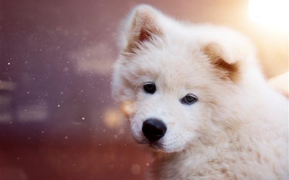 배경 화면 털 복 숭이 강아지를 다시 봐, 눈부심