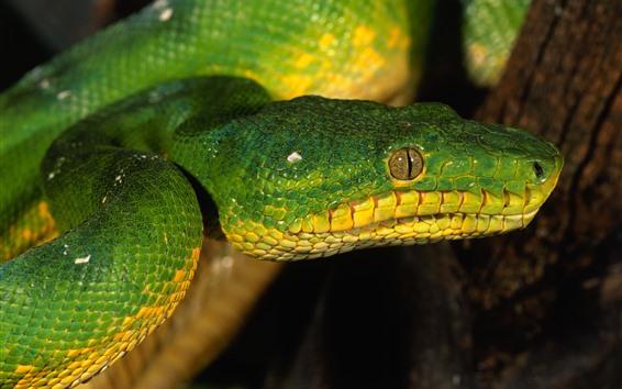 Wallpaper Green snake, head, eye