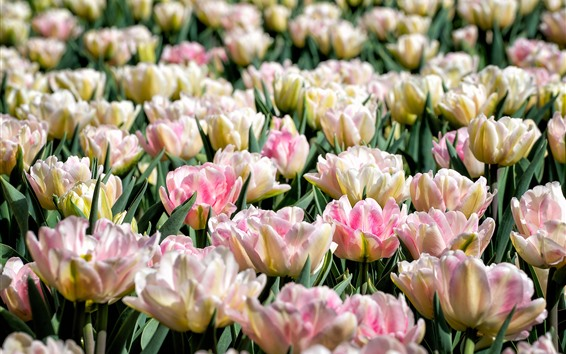 Wallpaper Light pink tulips, garden flowers