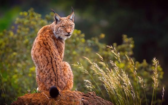 Papéis de Parede Lynx olhar para trás, grama, vida selvagem