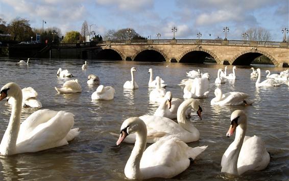 Papéis de Parede Muitos cisnes brancos, rio, ponte