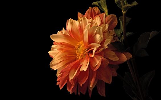 Wallpaper Orange dahlia close-up, black background