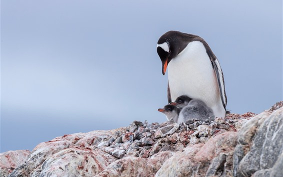 Fond d'écran Pingouins, famille, oiseaux