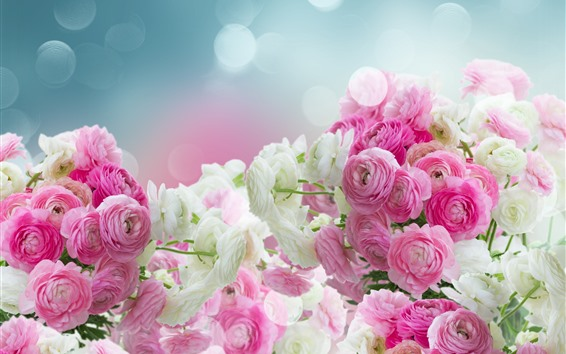 Wallpaper Pink and white ranunculus flowers, glare
