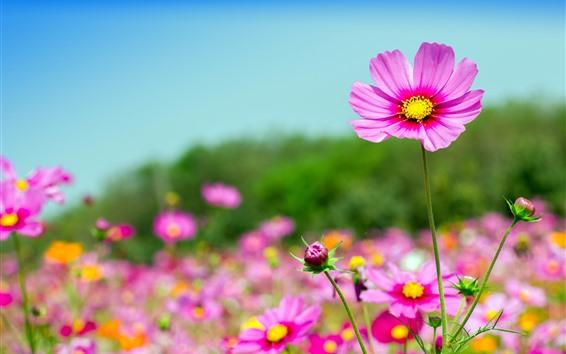 배경 화면 핑크 코스모스 꽃, 여름