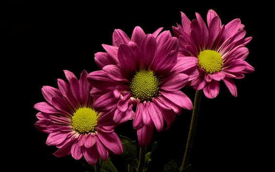 Wallpaper Pink flowers, chrysanthemum, black background