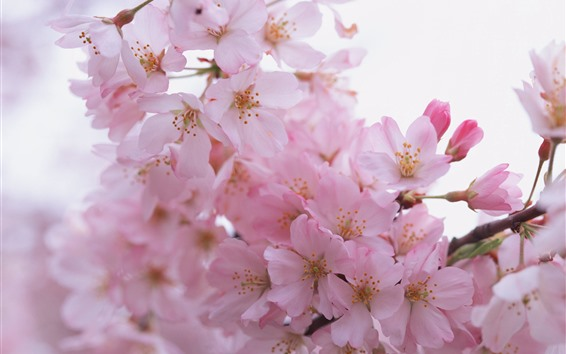 Fondos de pantalla Flor de Sakura rosa, pétalos, primavera, bruñi