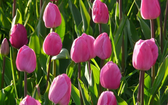 Wallpaper Pink tulips, green leaves, sunshine