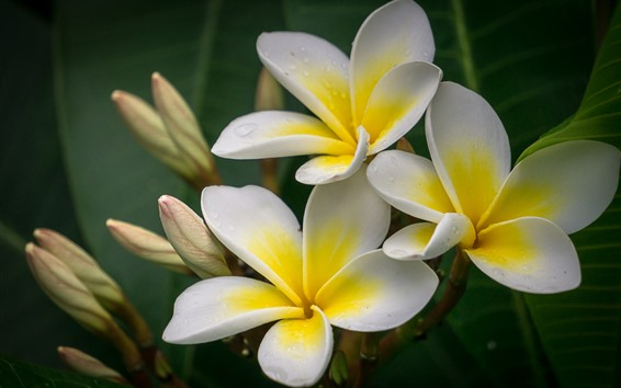Wallpaper Plumeria macro photography, petals, yellow and white, water droplets