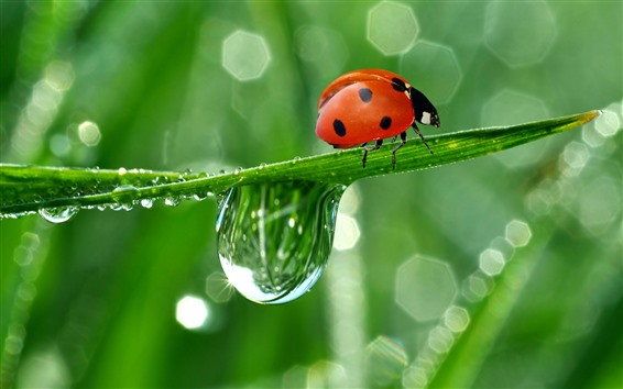 Wallpaper Red ladybug, green leaf, water droplet