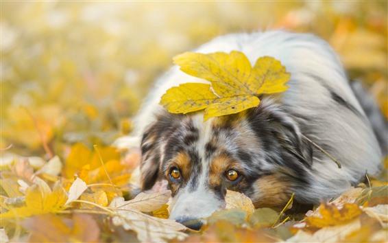 Wallpaper Sadness dog, yellow leaves, autumn